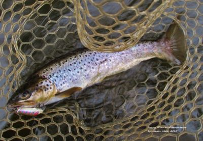Rapala-catches-a-nice-Mersey-River-brown-Kimberley