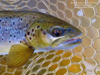 600gm-Mersey-River-wild-brown-trout30-9-2015