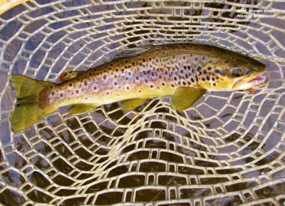 2016 04 07 Trout No 699 for the 2015 16 season Mersey River