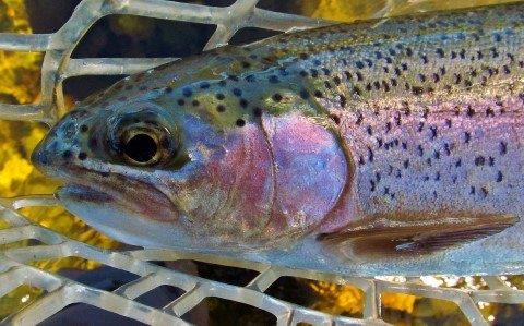 2017 11 08 Close up of Mersey River rainbow trout