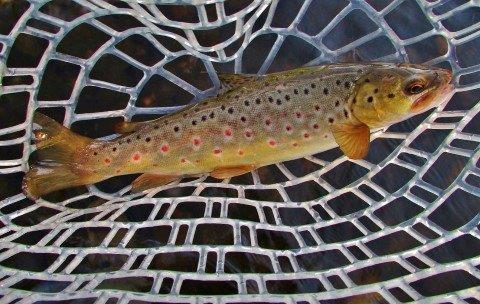 2017 11 14 Beautiful coloured Mersey River brown