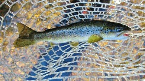 2013 03 07 Meander River trout C
