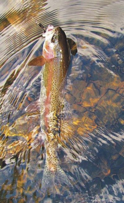 114 summer river trout mersey