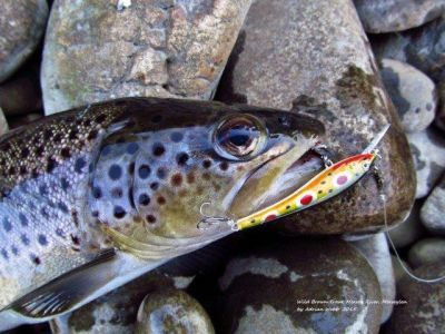 Another-solid-wild-brown-trout-Mersey-River-31-8-15