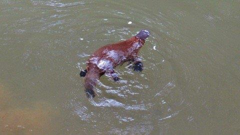 2018 10 13 One of the local platypus thats in the creek