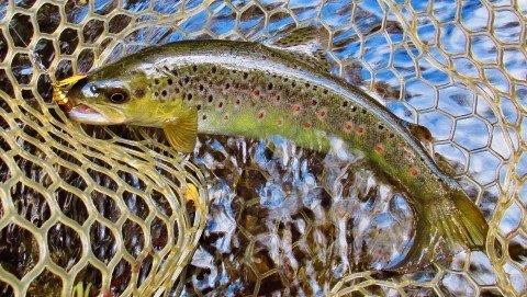 2018 11 19 Trout No 4 a well conditioned brown