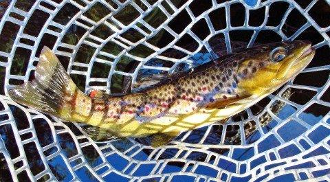 2019 06 27 Lovely wild brown trout