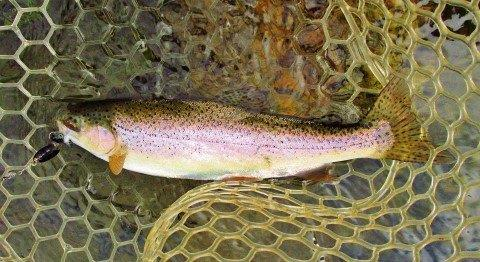 2020 02 22 One of two wild rainbows caught